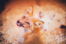 Close-up Young Fox Rescued Fro...