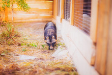 A Raccoon Dog Rescued From A F...