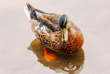 Mallard Duck In Water