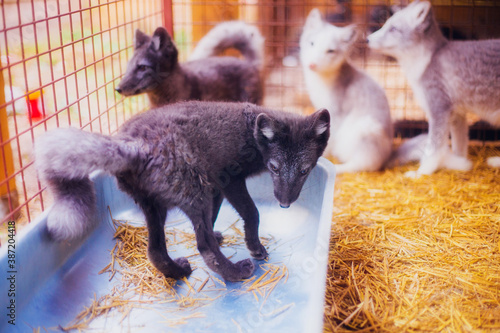 Fototapeta premium Little cute three-month-old Arctic foxes rescued from the fur production in a shelter