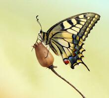 Wonderful Butterfly Papilio Ma...