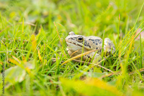 A witty frog sits on the grass under the rays of the sun Canvas Print