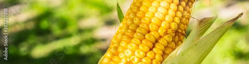 Fotografering Farmer hand examining ripe corn on the cob