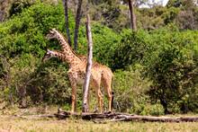 Safari In Kenia, Giraffen In Der Masai Mara. Governor's Camp 2017.
