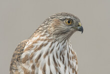 Sharp-shinned Hawk (Accipiter Striatus) Watching For Songbirds;  Laramie, WY