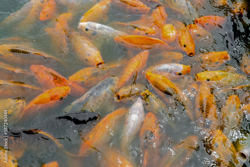 Cuadros en Lienzo Crowd of Goldfish in freshwater ponds