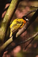 African Weaver Bird In An Aviary