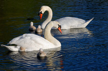 Mute Swan Family Of Five Cygne...