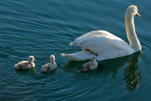 Mother Mute Swan Carrying Two Chicks With Three Cygnets Following