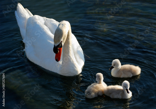 Fotografía Father Mute Swan guarding three cygnets