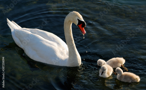 Fotomural Male Mute Swan feeding three cygnets on Lake Ontario