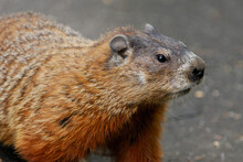 Close Up Of A Curious Groundhog