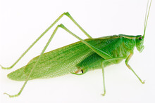 The Great Green Grasshopper Te...