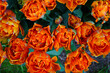 Leinwandbild Motiv Colorful double orange tulip flowers in the spring garden