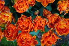 Colorful Double Orange Tulip F...