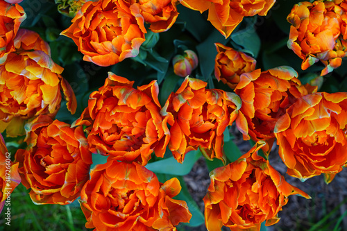 Photo Colorful double orange tulip flowers in the spring garden
