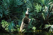 Anhinga Bird On A Log In A Marsh
