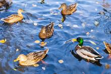 Ducks And Drake In The Pond Li...