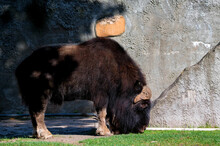 Muskox Or Ovibos Moschatus In ...
