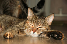 Domestic Tabby Cats Rest And S...