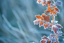 Branches Of A Shrub With Yellow Leaves Covered With Crystals Of Frost On A Natural Background Of Dry Grass. Soft Selective Focus. A Fresh Frosty Morning In Late Autumn Or The First Days Of Winter.