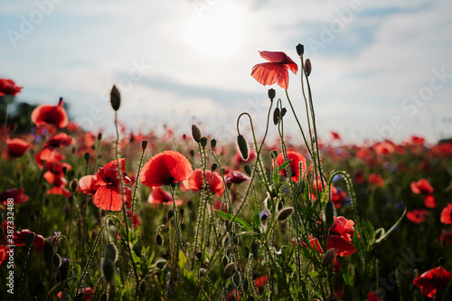 Fototapeta Beautiful landscape. Red poppy flowers field.