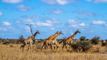 Small Group Of Giraffes Walkin...