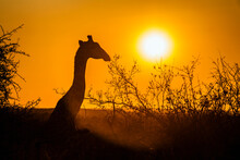 Portrait Of Giraffe At Sunset In Kruger National Park, South Africa ; Specie Giraffa Camelopardalis Family Of Giraffidae