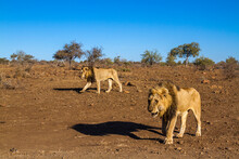 Two African Lions Walking In D...