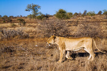 African Lioness Stalking In The Bush In Kruger National Park, South Africa ; Specie Panthera Leo Family Of Felidae