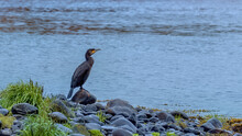 Cormorant Perched On A Rock Be...