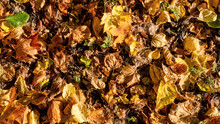 Autumn Leaves Lying On The Ground Withering