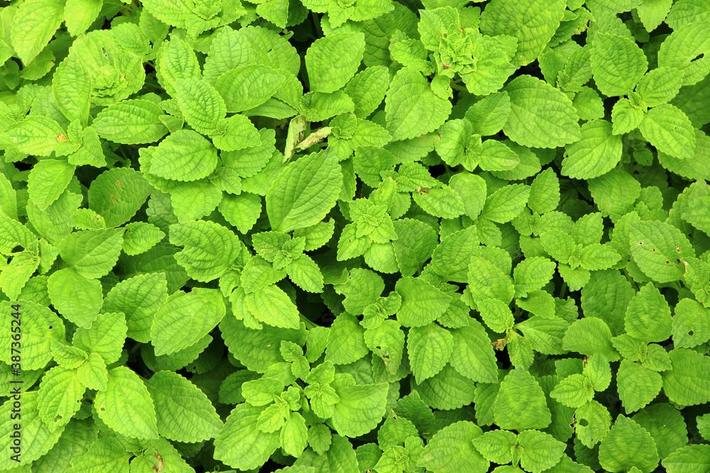 Fototapeta Chinese potato plant grown in the field, koorkaleaf in herbal garden.