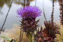 Blossoming Thistle Near A Pond