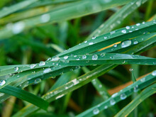 Dew Drops On The Blades Of Gra...