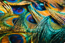 Feathers Of Tropical Peacock Bird. Macro, Close-up View. Beautiful Animals. Color Accuracy Of Nature.