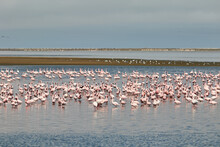 A Flock Of Flamingos In Walvis...