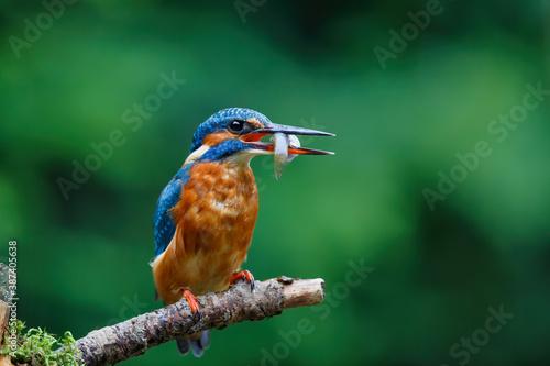 Fotografia, Obraz Common European Kingfisher (Alcedo atthis) with a fish in his beak on a branch a