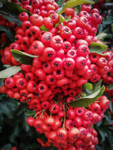 Red Fruits Of A Scarlet Fireth...