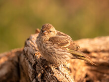 House Finch (Carpodacus Mexicanus) Resting On Branch;  Wyoming