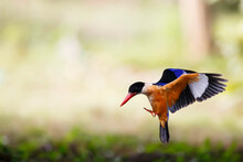 Beautiful Blue Bird With Black Head And Red Bills Perching Expos. Black-capped Kingfisher Flying With Shrimp