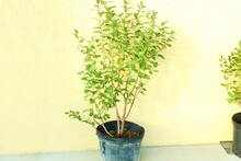 Healthy Blueberry Plant In Pot