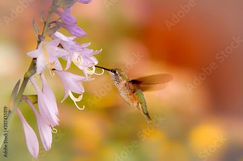 Naklejka premium Broad-tailed hummingbirds in flower garden in early morning; Laramie, WY
