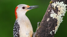 Profile Of Red-Bellied Woodpec...