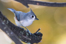 Tufted Titmouse Perched On An ...