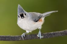 Tufted Titmouse Perched On A S...