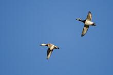Pair Of Ring-Necked Ducks Flyi...