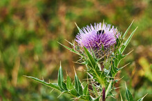 Thistle Flower With Bumblebee ...