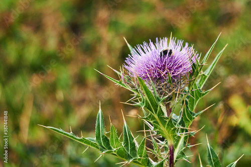 Obraz na plátne thistle flower with bumblebee on blurred background