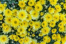 Bush Of A Yellow Chrysanthemum...